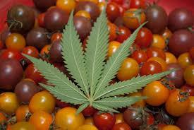 Używaj Prawidłowo Medycznej Marihuany, CBDLeczy.pl
