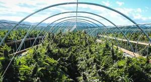 Medyczna marihuana, wystarczy spojrzeć na Izrael, CBDLeczy.pl