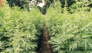 marihuana-lecznicza-medyczna-na-polu