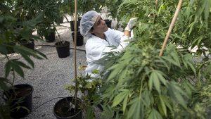 uprawa-marihuany-taka-prosta-zielona-roslina