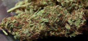 kannabis-marihuana-cannabis-jak-wyglada-marihauna-thc-cbd