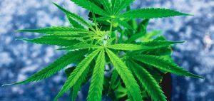 Pierwsze w historii wycofanie partii marihuany – Purple Kush, CBDLeczy.pl