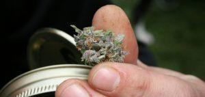 Sondaże pokazują, że istnieje spore poparcie dla korzystania z inicjatywy legalizacji marihuany dla dorosłych, CBDLeczy.pl