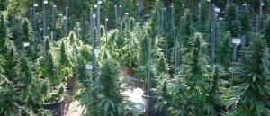 Departament Zdrowia w Kolorado zapewnia miliony dolarów na badania związane z cannabis, CBDLeczy.pl