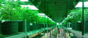 Tam, gdzie legalna jest marihuana dochody podatkowe idą w górę, a liczba aresztowań w dół, CBDLeczy.pl