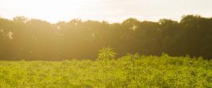 Izrael: Eksport marihuany, CBDLeczy.pl