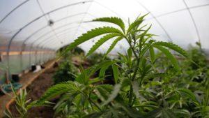 Parę faktów na temat marihuany, CBDLeczy.pl