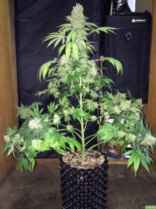 Polecane nasiona marihuany, CBDLeczy.pl