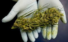 Czy estrogen zmienia efekty cannabis?, CBDLeczy.pl