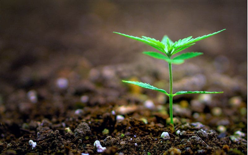 Szkocja Planuje Pierwszą Legalną Farmę Cannabis, CBDLeczy.pl